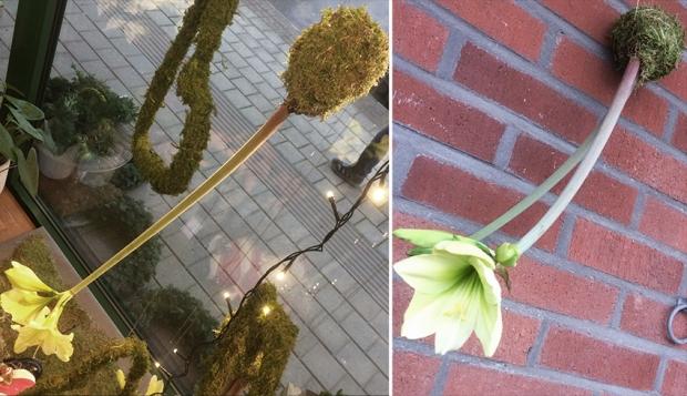 Amaryllis hängande uppochner i skyltfönster och mot tegelvägg