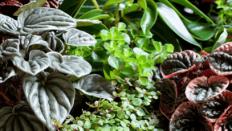 """Peperomia """"Rotundifolia"""", """"Caperata"""", """"Caperata Rosso"""""""