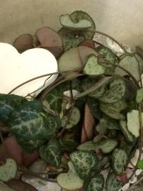 Lyktranka, Hjärtan på tråd (Ceropegia Woodii)