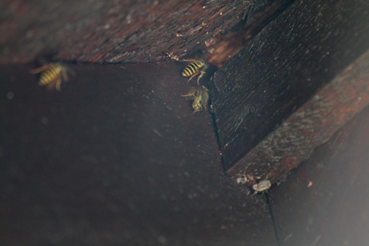 Ingångshål till getingbo i takfot