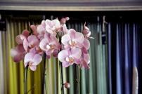 Rosa orkidéer passar fint i den rosa månaden oktober