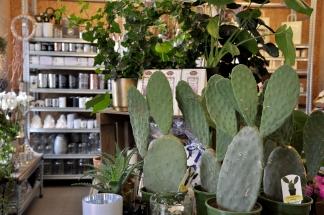 Kaktus hör till de trendiga krukväxterna just nu!