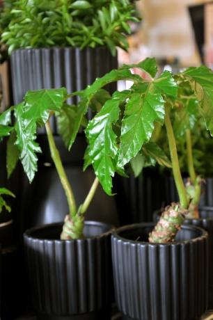 Begonia Carolineifolia är en liten palm